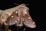 Small Eggar (Eriogaster lanestris)